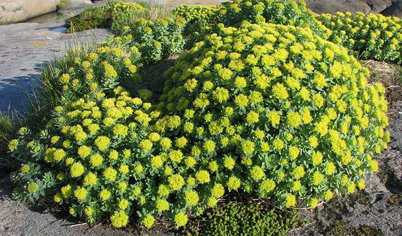 Растение родиола