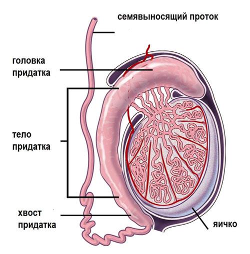 Признаки хронического эпидидимита